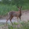 Rådyr / Roe Deer<br /> Linnesstranda, Lier 29.5.2016<br /> Canon 7D Mark II + Tamron 150 - 600 mm 5,0 - 6,3