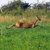 Rådyr / Roe Deer<br /> Görans Dämme, Øland, Sverige 24.7.2013<br /> Canon EOS 7D + EF 100-400 mm 4,5-5,6 L