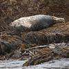 Steinkobbe / Harbour seal<br /> Anda, Vesterålen 15.7.2015<br /> Canon 7D Mark II + Tamron 150 - 600 5,0 - 6,3