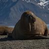 Hvalross / Walrus<br /> Prins Karls forland, Svalbard 8.7.2016<br /> Canon 7D Mark II + Tamron 150 - 600 mm 5,0 - 6,3 @  200 mm