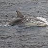 Tumler / Bottlenosed Dolphin<br /> La Palma, Spania 29.12.2017<br /> Canon 7D Mark II + Tamron 150 - 600 mm 5,0 - 6,3 G2