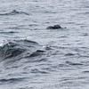 Havert / Grey Seal<br /> Slettnes fyr, Finnmark 21.5.2017<br /> Canon 7D Mark II + Tamron 150 - 600 mm 5,0 - 6,3 G2
