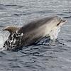 Tumler / Bottlenosed Dolphin<br /> La Palma, Spania 29.12.2017<br /> Canon 7D Mark II + Tamron 150 - 600 mm 5,0 - 6,3 G2 @  150 mm