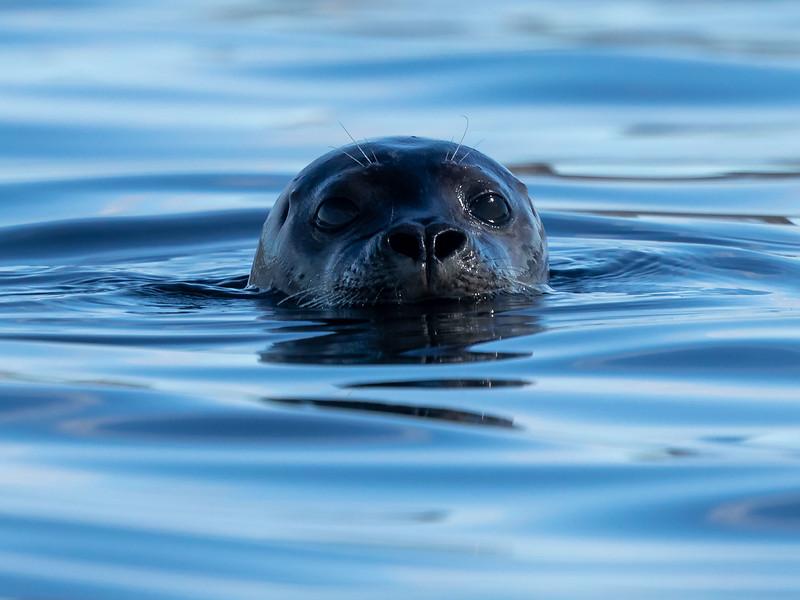 Steinkobbe / Harbour seal<br /> Gåsungene, Oslofjorden 18.4.2020<br /> Canon  5D Mark IV + EF 500mm f/4L IS II USM + 1.4x Ext