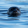 Steinkobbe / Harbour seal<br /> Gåsungene, Oslofjorden 18.4.2020<br /> Canon  5D Mark IV + EF 500mm f/4L IS II USM + 1.4x Ext