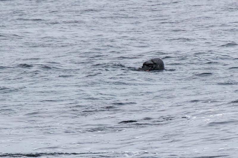 Havert / Grey Seal<br /> Slettnes fyr, Finnmark 21.5.2017<br /> Canon 7D Mark II + Tamron 150 - 600 mm 5,0 - 6,3 G2