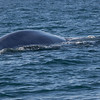 Blåhval / Blue Whale<br /> Isfjorden, Svalbard 8.7.2016<br /> Canon 7D Mark II + Tamron 150 - 600 mm 5,0 - 6,3 @  250 mm