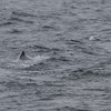 Spermhval / Sperm Whale<br /> Andøya, Nordland 15.7.2015<br /> Canon 7D Mark II + Tamron 150 - 600 mm 5,0 - 6,3