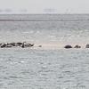 Steinkobbe / Harbour seal<br /> Agger tange, Danmark 24.5.2015<br /> Canon 7D Mark II + Tamron 150 - 600 5,0 - 6,3