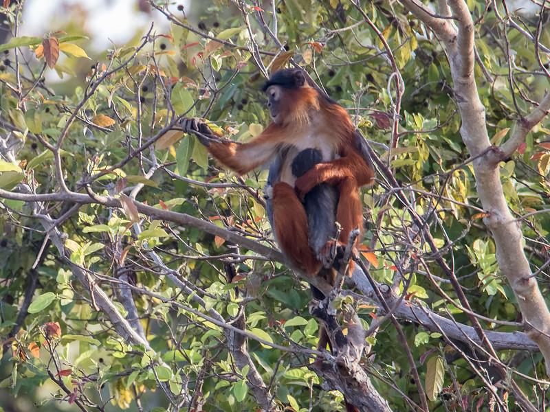 Rødkolobusape / Red Colobus Monkey<br /> Kuntaur - Jajanbureh, 2.2.2016<br /> Canon 7D Mark II + Tamron 150 - 600 mm 5,0 - 6,3
