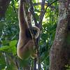 Gibbon<br /> Kaeng Krachan, Thailand 1.2.2018<br /> Canon7D Mark II + Tamron SP 150-600mm f/5-6.3 G2 @ 150 mm