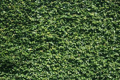 A hedge.