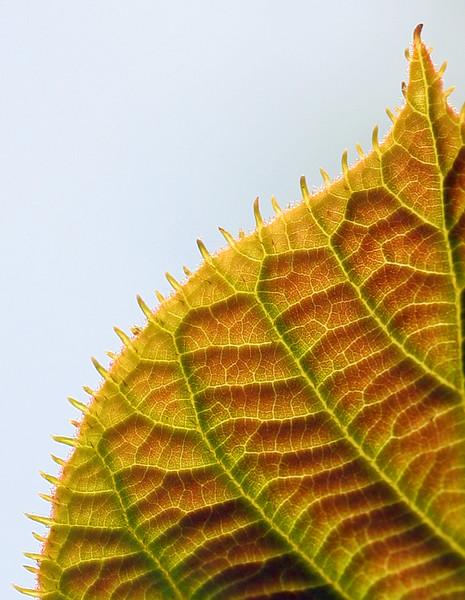 7021 Kiwi Leaf crop2