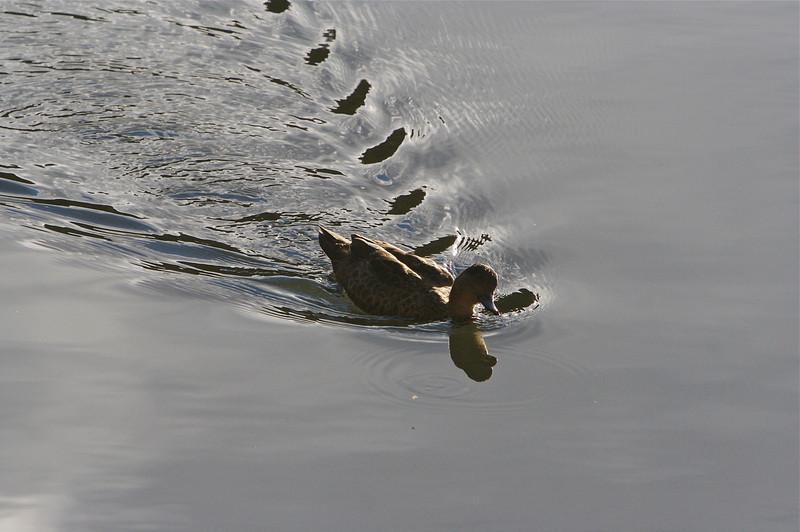 Pattern left by Black Duck; Australia.
