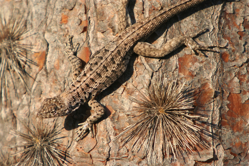 Lava lizard on matching cactus; Galápagos, Ecuador.