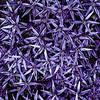 Purple Stars   6/6/2014