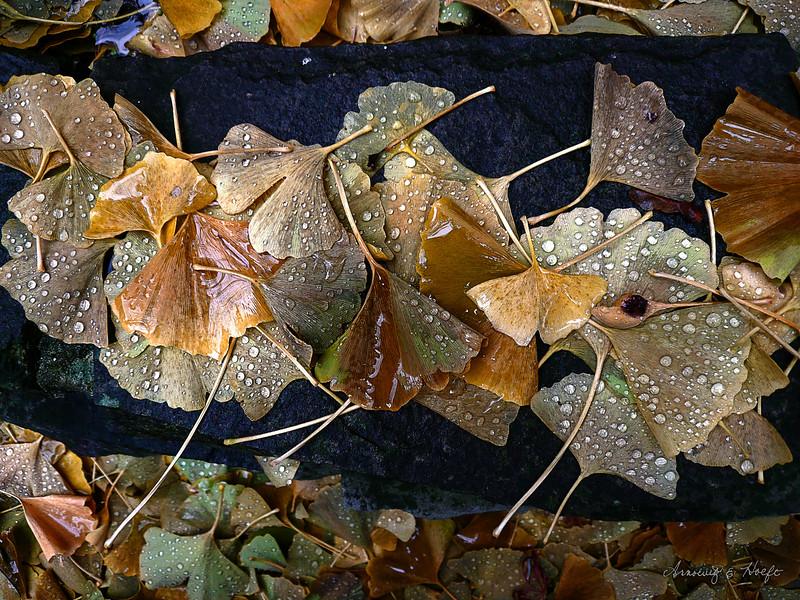 Ginkgo Leaves 11/2/2008