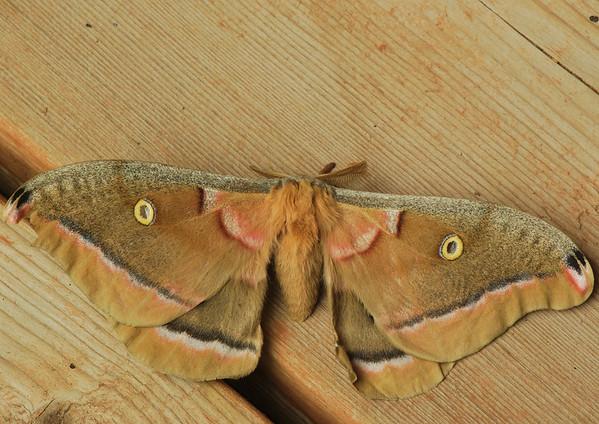 Polyphème d'Amérique (Antheraea polyphemus )