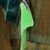 Papillon lune (Actias luna)