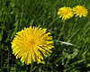 Dandelions, one in foreground, two blurred ones in background against green grass
