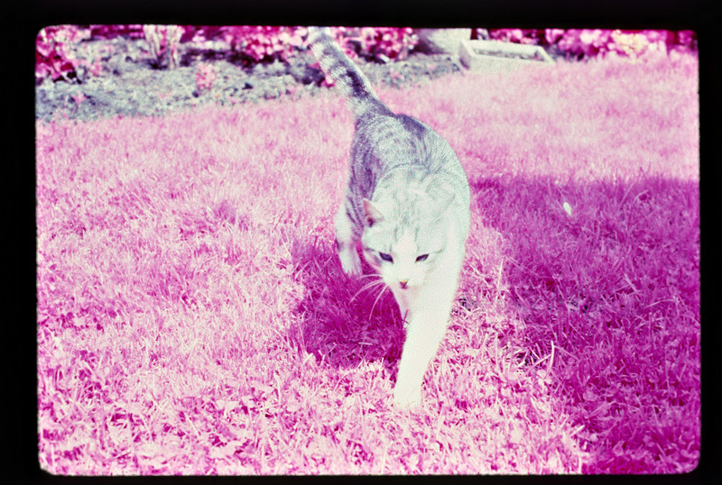 Cat walking on lawn in infrared colour film