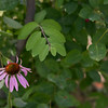 Eastern purple coneflower at the university Park Rain Garden. PAULA OSPINA / STAFF PHOTOGRAPHER