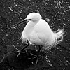jurors choice...snow goose festival