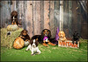 Pawsnap Pet Photography  halloween puppies
