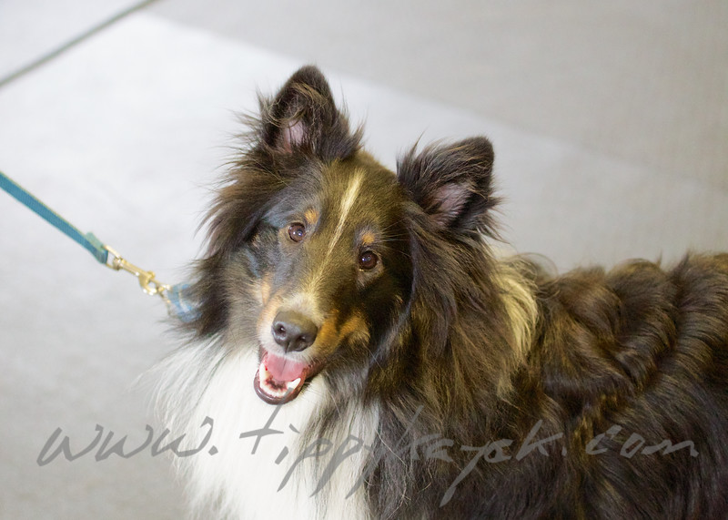 George the Sheltie