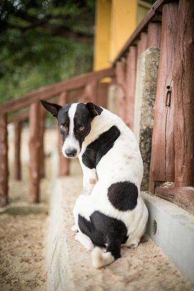 Filipino dog