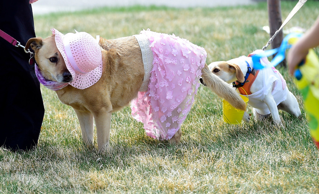 . BROOMFIELD, CO - April 20, 2019: Emilynn the dog in the pink hat gets a rear end introduction from another contestant in the Bonnet Parade.  Dogs competed in an Easter Bonnet show and hunted for Easter eggs at Broomfield Commons on Saturday. Paws in the Park is presented by and benefits Broomfield High School\'s Future Business Leaders of America.  (Photo by Cliff Grassmick/Staff Photographer)