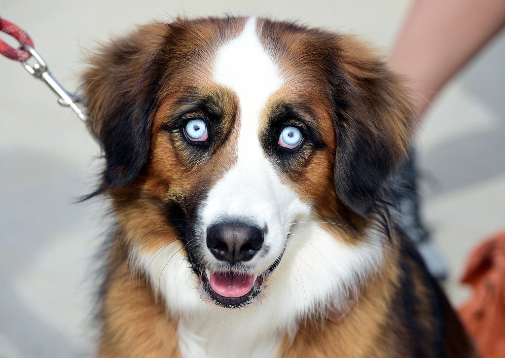 . BROOMFIELD, CO - April 20, 2019: Buckley with the light blue eyes put a spell on many.  Dogs competed in an Easter Bonnet show and hunted for Easter eggs at Broomfield Commons on Saturday. Paws in the Park is presented by and benefits Broomfield High School\'s Future Business Leaders of America.  (Photo by Cliff Grassmick/Staff Photographer)