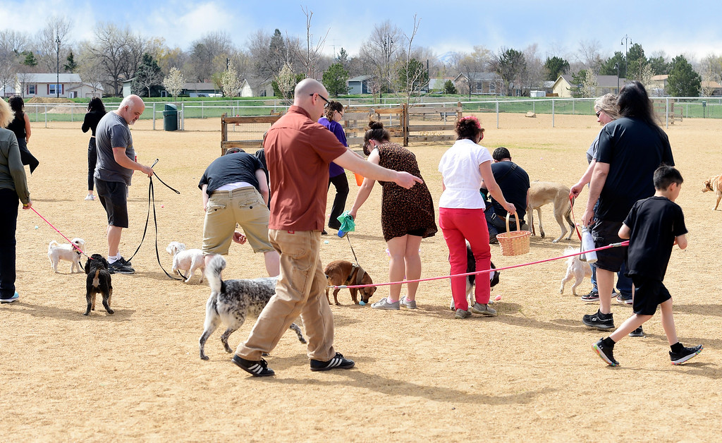 . BROOMFIELD, CO - April 20, 2019:  Dogs and owners are on the hunt for eggs. Dogs competed in an Easter Bonnet show and hunted for Easter eggs at Broomfield Commons on Saturday. Paws in the Park is presented by and benefits Broomfield High School\'s Future Business Leaders of America.  (Photo by Cliff Grassmick/Staff Photographer)