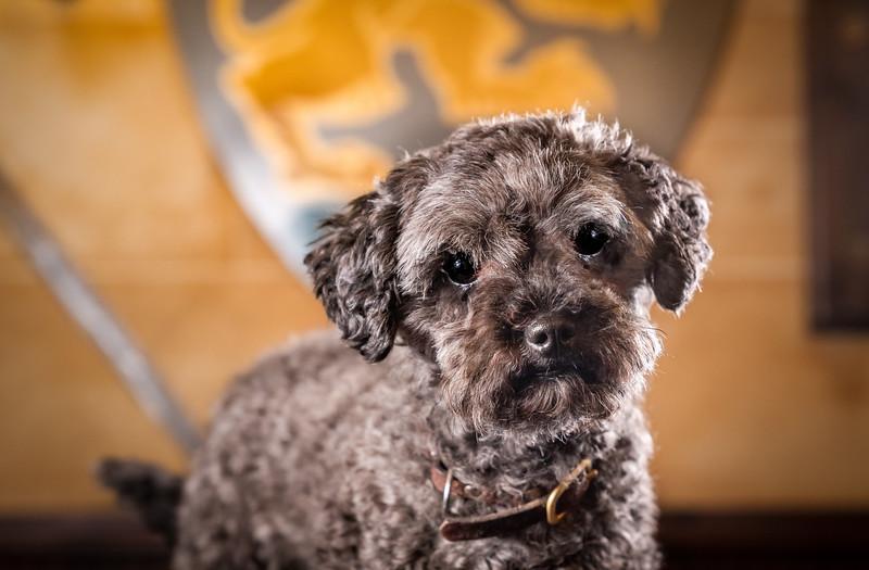 Pepper Halfpoodle