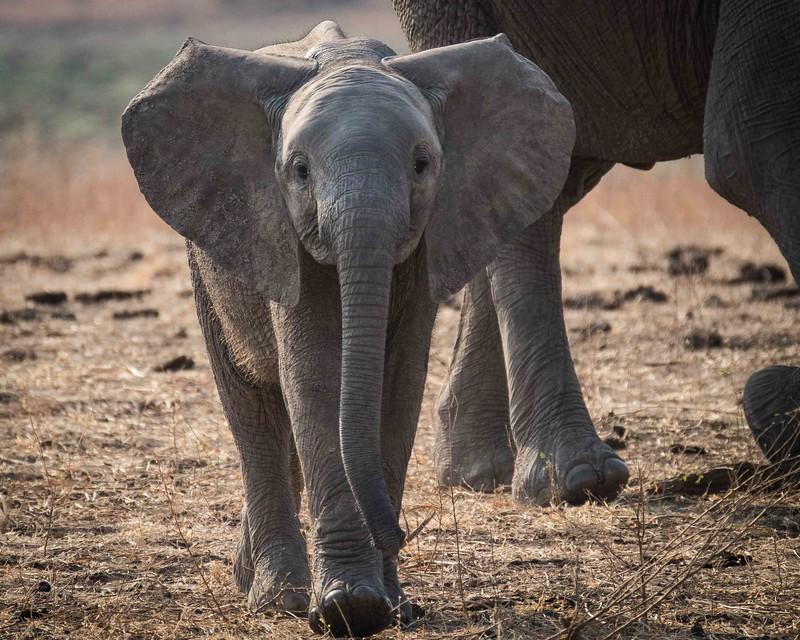 Juvenile elephant, Zambia