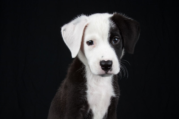 Loved photographing this puppy!  Not surprisingly, he was adopted almost immediately - who could pass up that heart shaped nose?