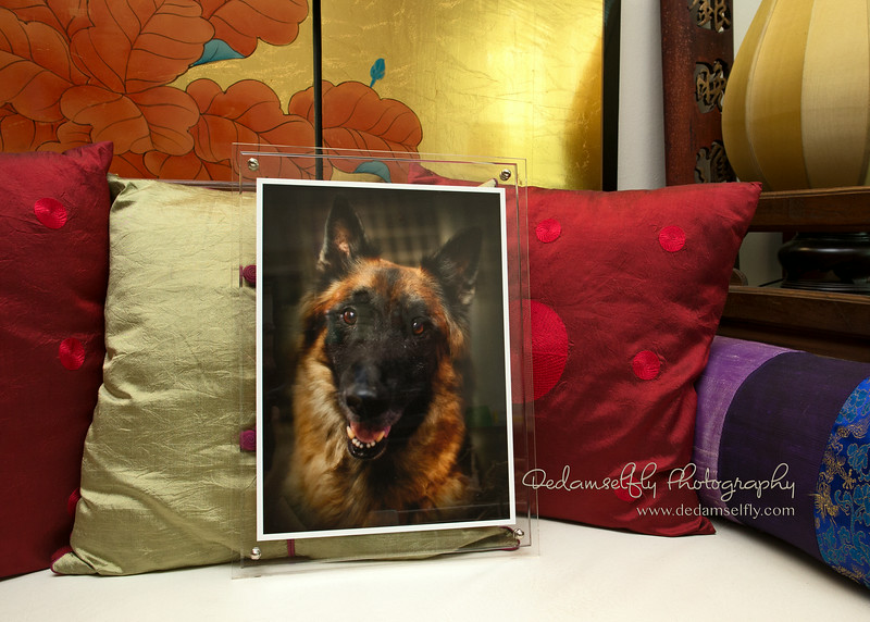 Booley was a rescued K9 dog. This gorgeous Belgian Malinois passed away too soon and left his rescuer with a broken hearts. I printed this pawtrait of him in an 8R archival photo print with a simple yet classy acrylic frame for his Mama.