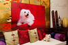 The 42 x 30 inch stretched canvas for Sammy the Maltese. This will take pride of place in the study room of Sammy's pawrents. I'm so glad they decided to go large with this image. It sure makes an impact in this size and colour!