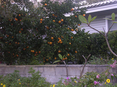 Oranges grow on trees, too