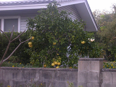Grapefruit DOES grow on trees