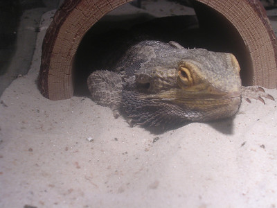 Lizzy, the Bearded Dragon...on loan from the 4th grade at Central Elementary School
