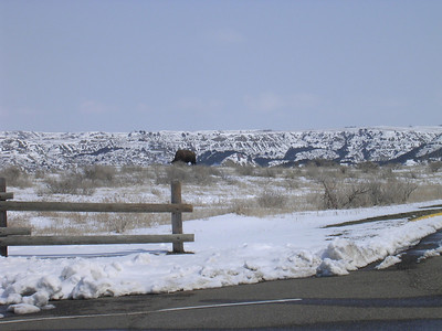 Buffalo grazing at the Theodore Roosevelt National Park Painted Canyon