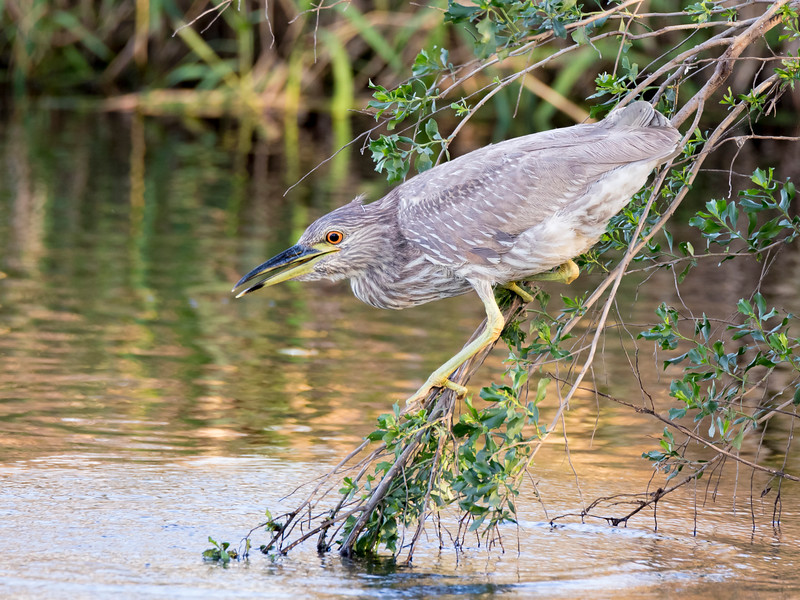 Imature Night Heron Fishing