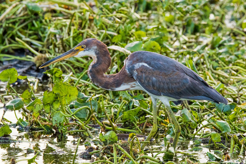 Tri-Colored Heron 2