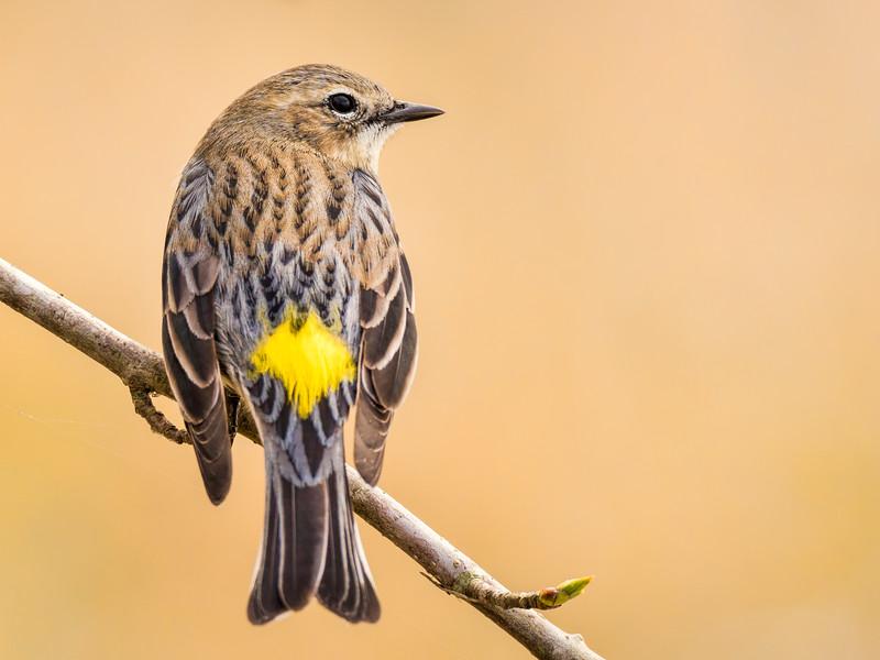 Yellow-rumped Warbler 2