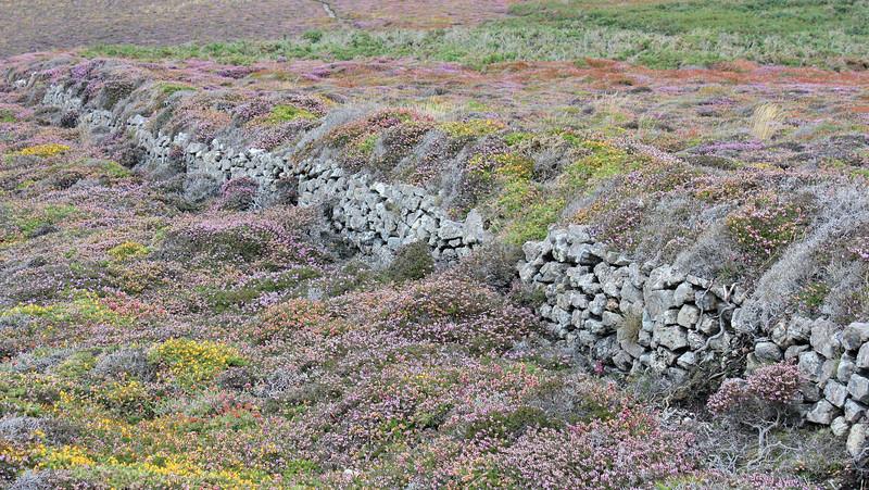La lande à bruyère bretonne