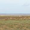 Secteur du Mont Saint-Michel, les prairies salées, les moutons, l'ostréiculture