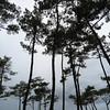La forêt de pins des Landes
