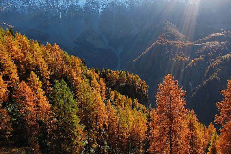 Le mélézin de Vanoise à l'automne