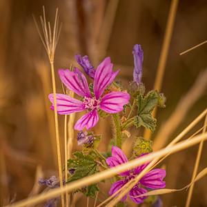 Une fleur sauvage de Pen Bé (A wild flower of Pen Bé)
